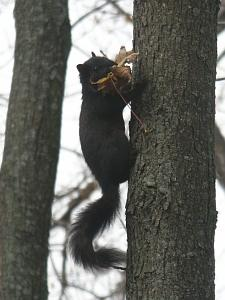 photo of squirrel carrying a leaf