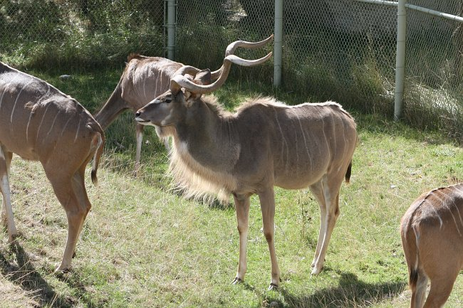 photo of Greater Kudu