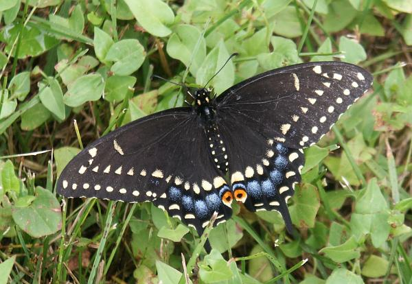 BlackSwallowTail.jpeg