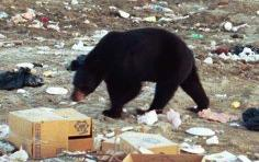 Black bear at dump