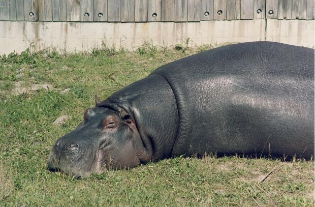 photo of Hippopotamus